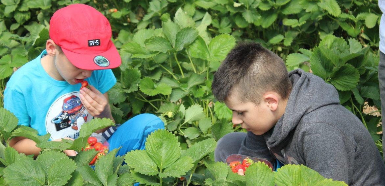 Jahody v Dunajskej Lužnej
